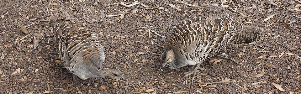 Mallee Fowl in the Little Desert