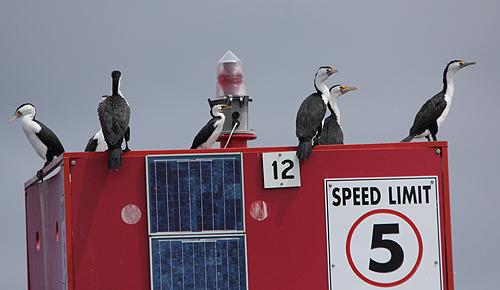 CIcormorants
